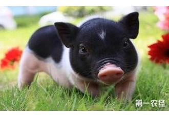 2017年养猪怎么样?养猪户们要知道这些