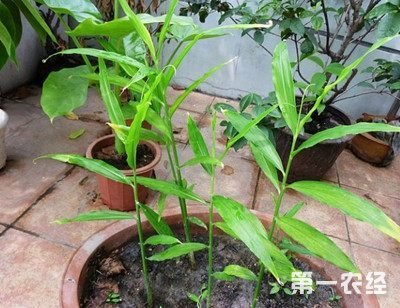 阳台种菜:盆栽生姜种植技术