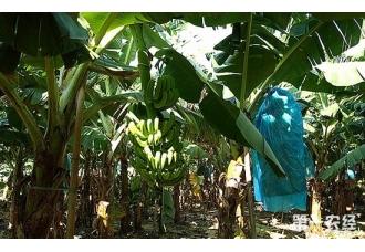 果园改造:老香蕉园怎么优化?老香蕉园改造技