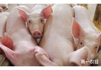 """英国研究所培育出""""超级猪"""" 能抵抗""""蓝耳病""""等致命性病毒"""