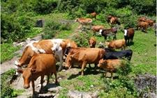 重庆黔江:多措并举提升畜产品市场竞争力