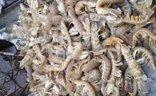 天津渤海湾:冰封期过 下月皮皮虾将大量上市