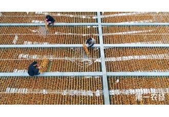 福建泉州:紫菜苗种厂工作人员育苗忙