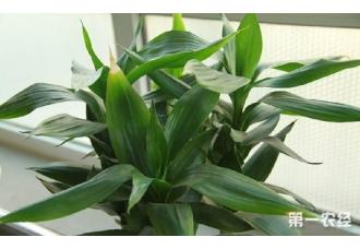 水培富贵竹怎么养?学会这三步让你的富贵竹常