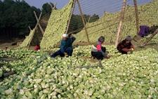 <b>重庆涪陵:推进榨菜产业转型升级 打造百亿级榨菜产业链</b>