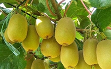 福建明溪:多举措并行 推动猕猴桃产业发展