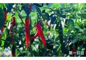 辣椒怎么种?辣椒栽培的技术要点