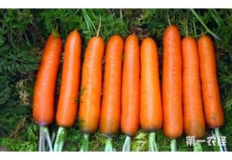 胡萝卜种植技术:无公害胡萝卜的栽培新方案
