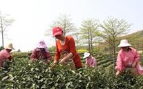 江西湖口:今年春茶产值预计将超6000万元
