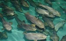 养石斑鱼赚钱吗?石斑鱼的养殖方法
