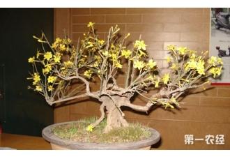 迎春花盆景怎么养?注意这4个要点!!