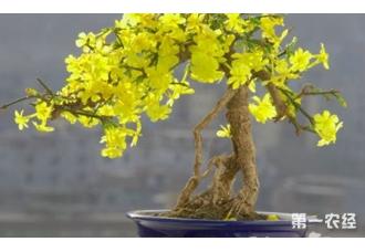 迎春花盆景修剪的注意事项分析!!
