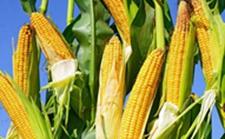 吉林:全省玉米收购量达214.2亿公斤