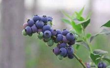 天津蓟州:林业局悉心提供技术指导 保障蓝莓丰产稳产