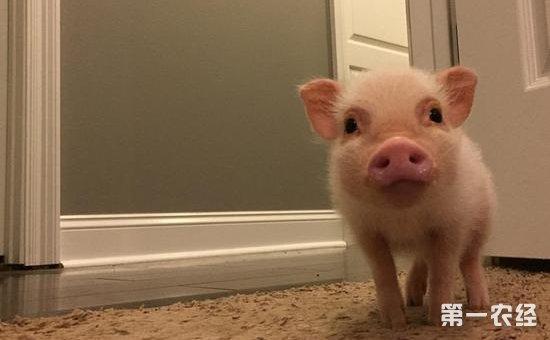 猪萌图片大全可爱图片