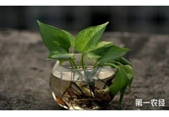 绿萝叶子发黄烂根怎么办?在盆土里加点这个就行了!