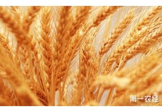 小麦种植技术:小麦巧施磷肥有讲究