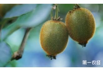 猕猴桃树的种植方法:不同月份的管理方案