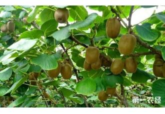 猕猴桃树种植如何科学施肥?一首施肥口诀送上