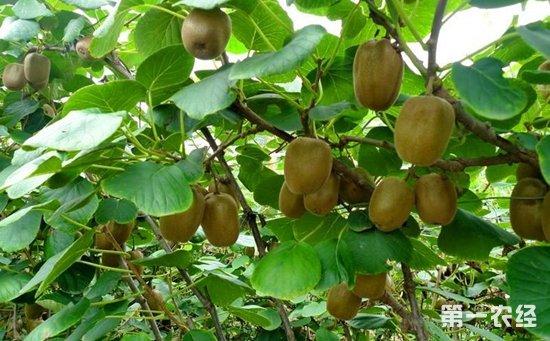 猕猴桃树种植如何科学施肥 一首施肥口诀送上