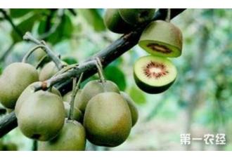 果树不修不结果 猕猴桃树的修剪方法