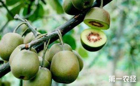 修不结果 猕猴桃树的修剪方法