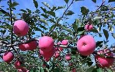 陕西洛川:持续发展加产业融合 推动农户脱贫增收