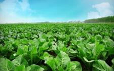 重庆:2月份蔬菜总产值高达344万吨 全市蔬菜价格或下跌