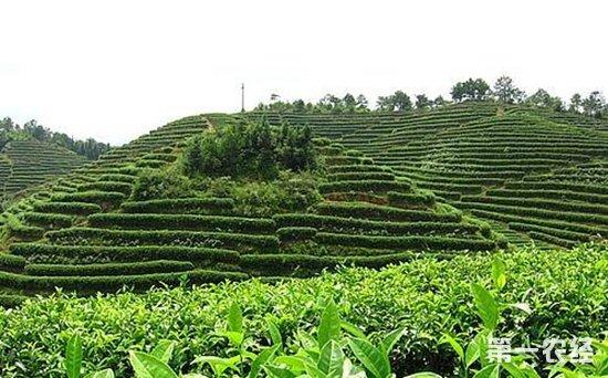 由于春茶采摘后,茶树树体已消耗大量养分,加上去冬今春中耕松土