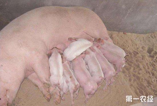 经常可以看到几只小猪