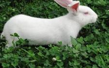 哈白兔养殖:哈白兔养殖方法