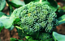 曲靖:青花菜重金属镉超标 食药监局通报19批次不合格食品