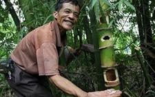 云南西双版纳:以竹养虫 一斤可卖八九十元