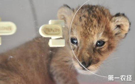 云南野生动物园:新添呆萌可爱的小狮子