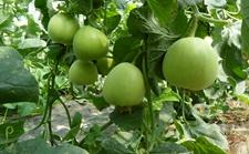 甜瓜种植技术:提升甜瓜甜度的六项措施!