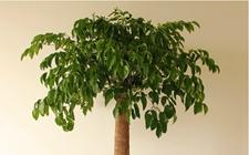 幸福树怎么养?幸福树的养殖方法和注意事项!