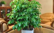 幸福树放在客厅好吗?幸福树的室内作用