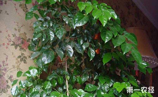 幸福树掉叶子的原因分析及