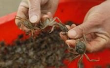 上海崇明:优质早熟清水蟹今年中秋至春节将陆续上市