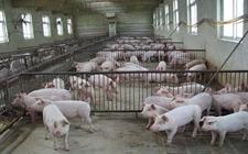 <b>猪场的防臭污染应该采取哪些措施</b>