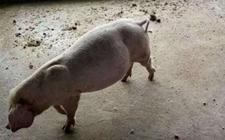 <b>家里猪胀气怎么办,猪胀气快速治疗</b>
