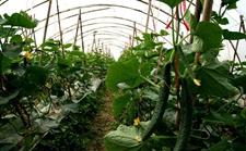 大棚黄瓜种植技术:大棚黄瓜的施肥技巧