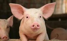 <b>你的仔猪为什么比别人少,看看这些原因就知道了</b>