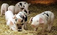 提早给仔猪开食的好处,给仔猪开食的办法