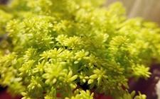 四季各不同——黄金万年草的四季养护技巧