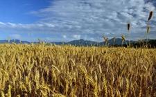 小麦种植技术:旱地小麦抗旱增产的技术要领