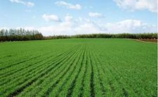 小麦种植技术:小麦的春季管理技术