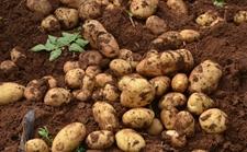 <b>马铃薯栽培技术:马铃薯的抗旱栽培技术</b>
