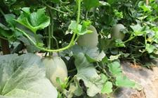 甜瓜怎么栽培?甜瓜的栽培技术