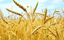 河南:全面落实优质小麦专收、专储、专用工作